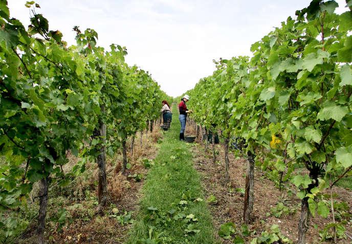 Cueillette du raisin par des travailleurs saisonniers dans les vignes d'Itterswiller (Bas-Rhin).