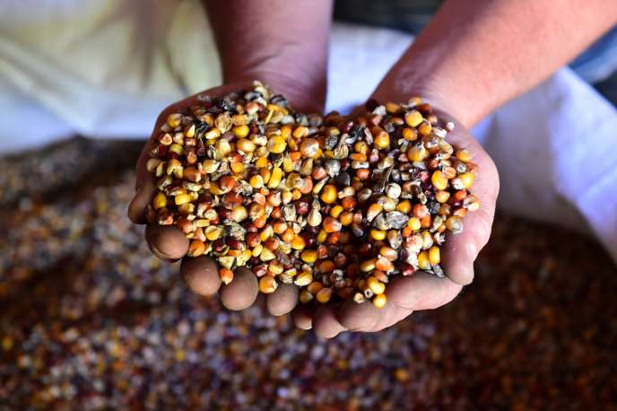 Des grains de maïs bio, à Bourdeilles (Dordogne), en mai.