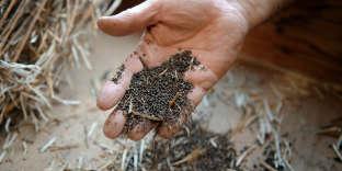 Des semences paysannes de brocolis.