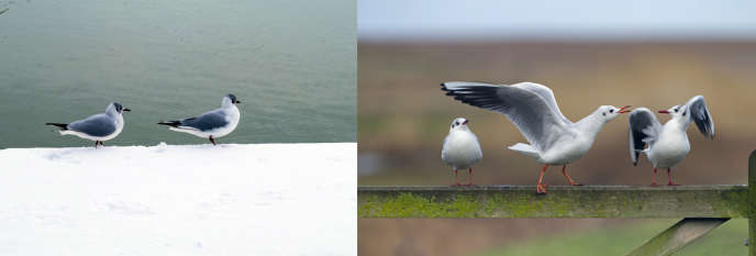 Des mouettes rieuses, à gauche avec leur plumage nuptial et la tête brune caractéristique, à droite avec leur plumage« normal».
