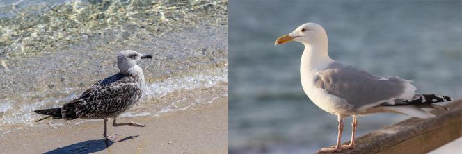 Un jeune goéland à gauche, avec son bec encore brun, et un goéland adulte à droite.