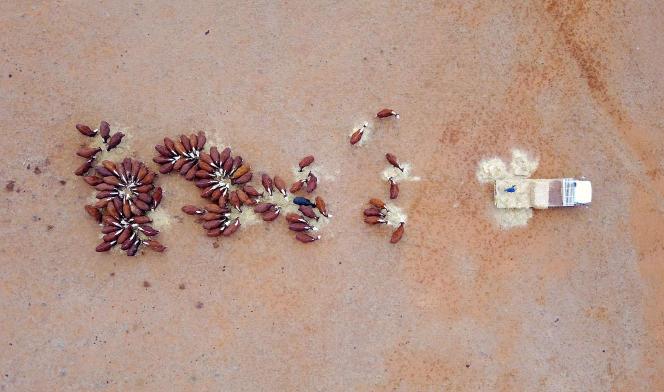 Un éleveur nourrit ses bovins avec du foin durant la sécheresse, près de Gunnedah dans l'Etat deNouvelle-Galles du Sud (Australie), le 3 juin.