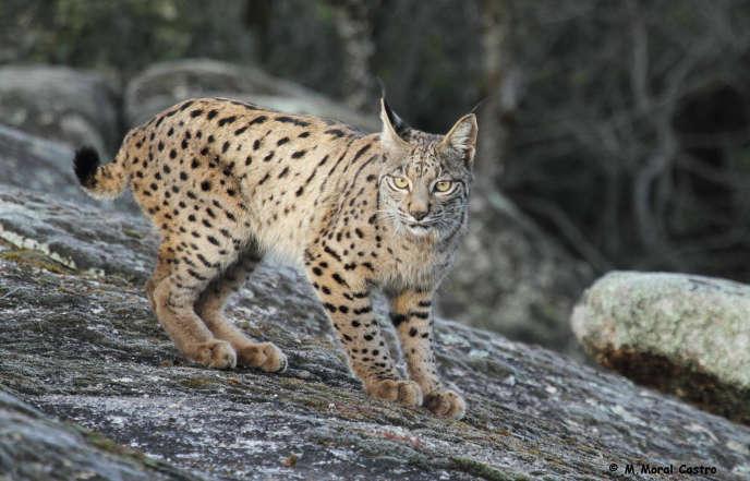 Le lynx ibérique dans la région de la Sierra Andujar.