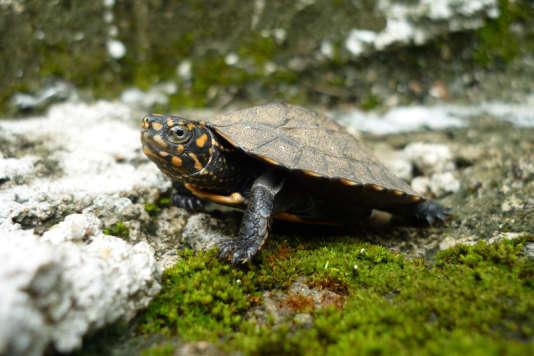Une tortue noire d'Inde, qui figure parmi les espèces menacées d'extinction.