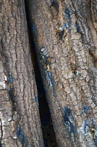Le scolyte polyphage, une espèce invasive de scarabée de la taille d'une fourmi, viendrait d'Asie du Sud-Est. Il menace plus de 80 espèces d'arbres à Johannesburg.