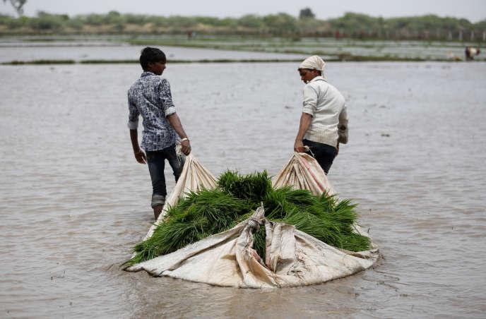 Un très grand nombre d'aliments auront une moindre valeur nutritive, comme le riz, ici prêt à être repiqué, àAhmedabad (Inde), en 2017.