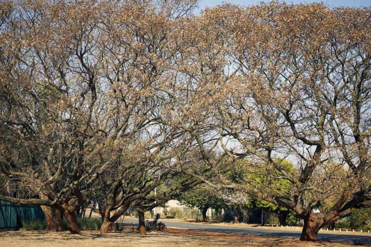 Le département des parcs et forêts a eu tendance à planter une essence d'arbre par rue, ce qui est plus esthétique, mais plus dommageable en cas de maladie.