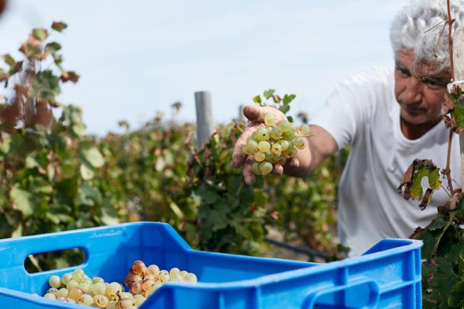 Michalis Tzanoulinos dans les vignes
