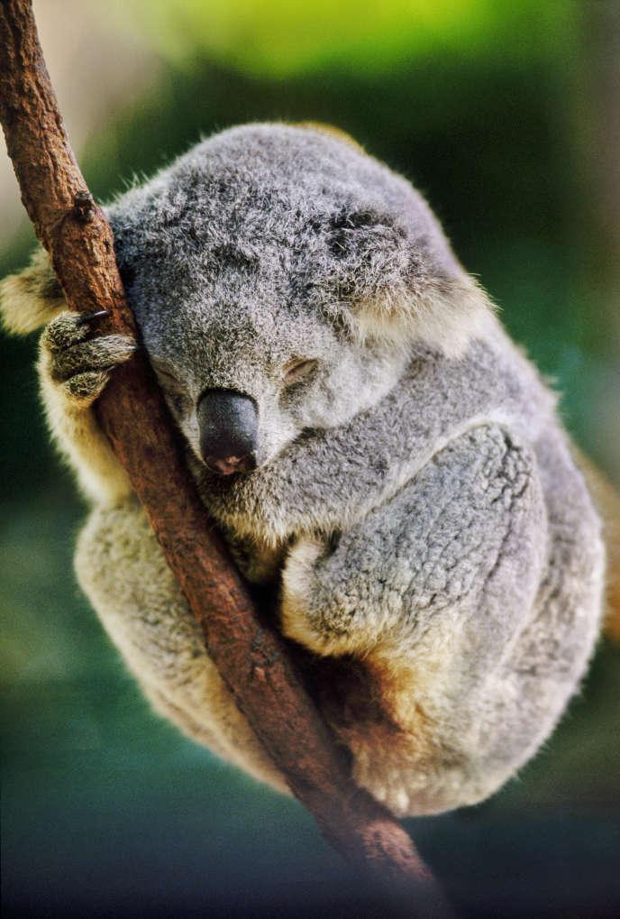 Outre son aptitude au sommeil longue durée, le koala a un autre point commun avec l'ado: il prend la mouche à la moindre remarque, signalant son courroux par des grognements.