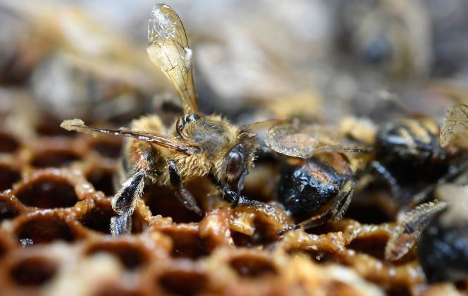 Cinqnéonicotinoïdes « tueurs d'abeilles» sont interdits en France depuis le 1er septembre 2018, en vertu de la loi sur la biodiversité de 2016.