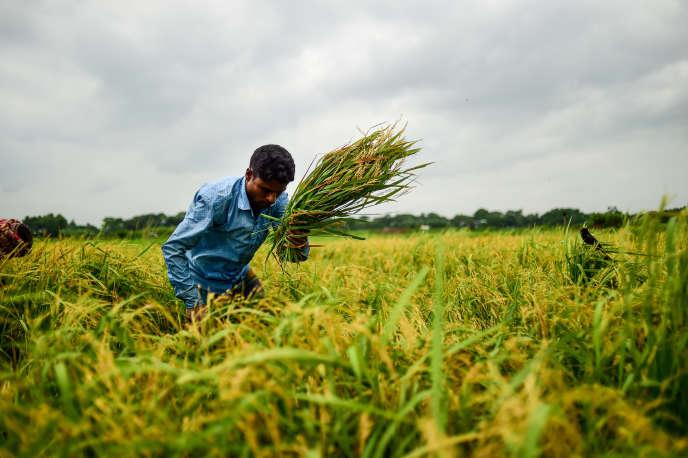 Récolte de riz à Manikganj, près de Dacca, au Bangladesh, le 27 août.
