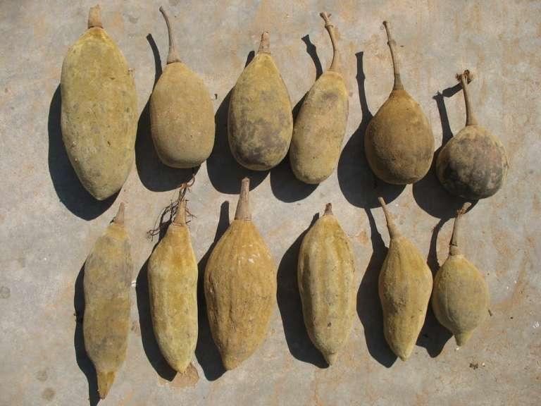 Le fruit du baobab.