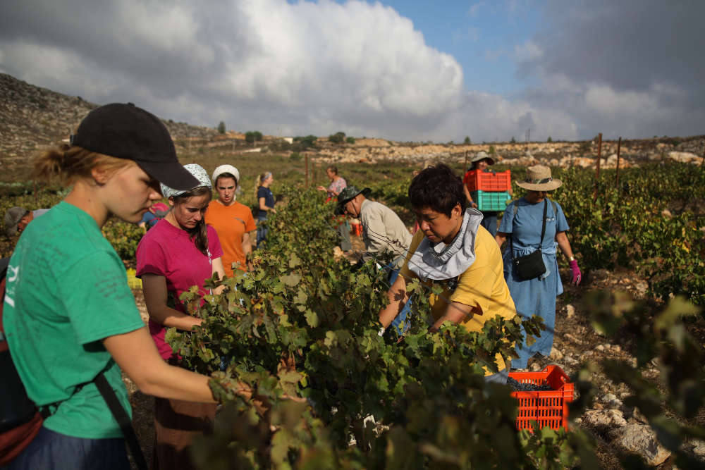Sur la petite parcelle de vignes plantées dans la colonie israélienne d'Ofra, en Cisjordanie, la récolte a commencé de bon matin, le 26 août.