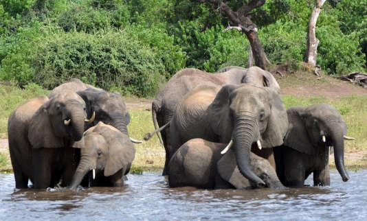 L'Union internationale pour la conservation de la nature (UICN) estime que le très rémunérateur trafic de l'ivoire a tué plus de 300 000 éléphants au cours de la dernière décennie en Afrique.