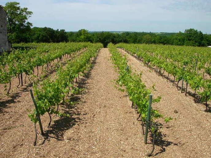 Les vignes du producteur de cognac Christophe Brandy, en Charente.