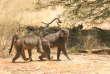 Babouines chacmas de Namibie.