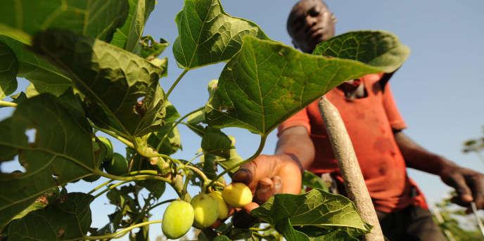 A Taabo, en Côte d'Ivoire, dans une plantation de jatropha.