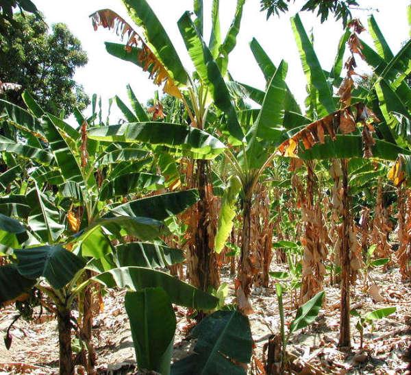 Plants de banane attaqués par la fusariose au Cameroun.