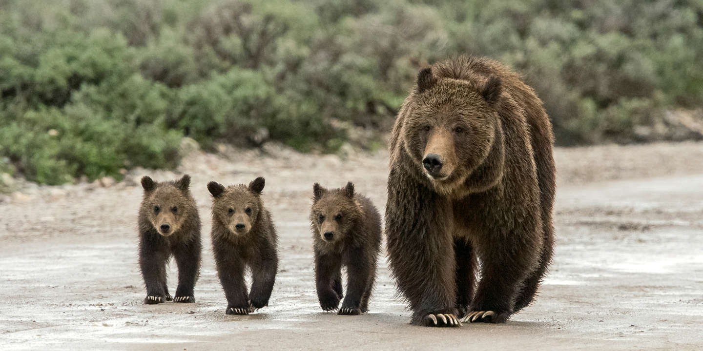 Grizzly 399 and her three cubs walk down Pilgrim Creek Road in Grand Teton National Park.
