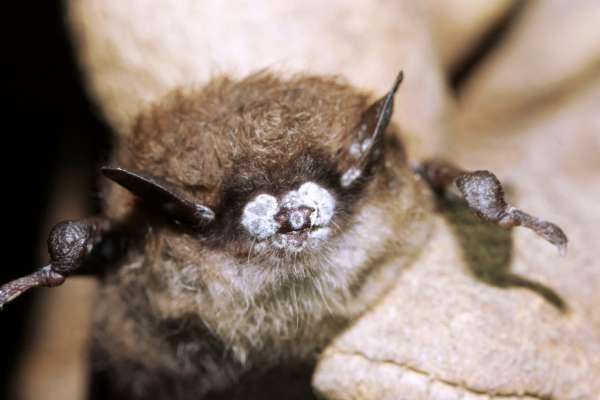 Dans le Vermont, aux Etats-Unis, des chauves-souris brunes sont frappées par la maladie du museau blanc.