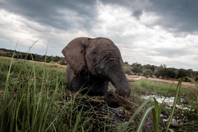 Un éléphant dans la rivière Chobe, au Botswana, en mars 2015.