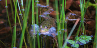 Des espèces, comme la grenouille rieuse, seraient menacées par la construction du barrage de Caussade (Lot-et-Garonne).