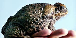 Dans le Queensland la lutte contre les crapauds est organisée lors du Toad Day Out, qui se tient chaque 29 mars depuis 2009.