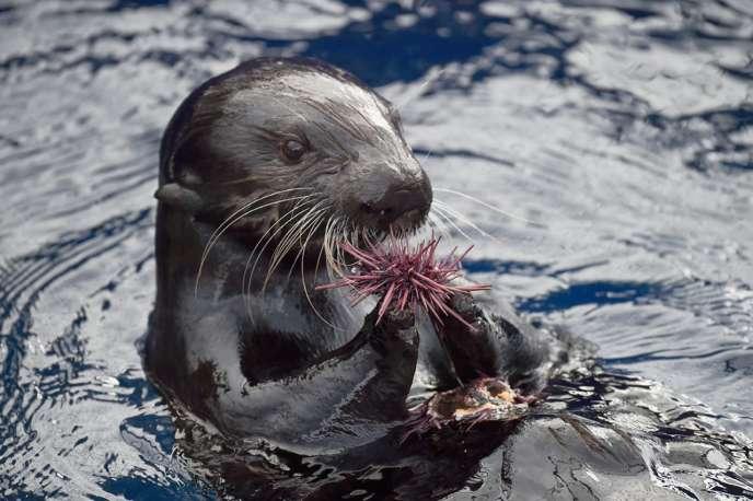 Selka, loutre de mer mange un oursin à l'aquarium de Monterey (Californie).