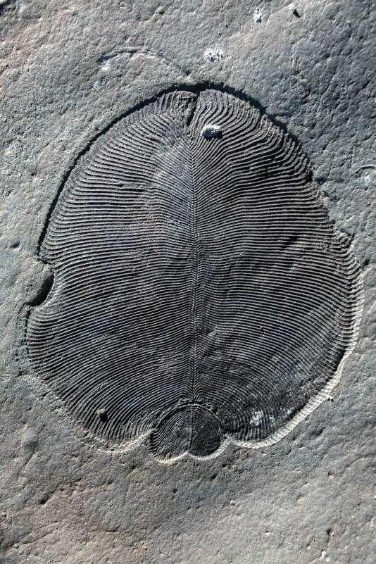 Un fossile de «Dickinsonia», provenant de la région de la mer Blanche, en Russie. Il est de la taille d'une table basse. Il pouvait mesurer plus d'un mètre de longueur.