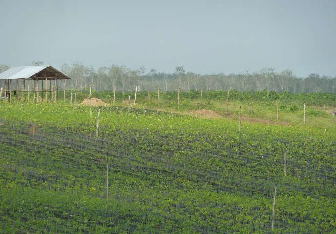 Sur une exploitation concédée au groupe malaisien Sime Darby, dans le nord-ouest du Liberia.