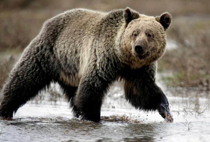 Un grizzly du parc de Yellowstone, en 2014.