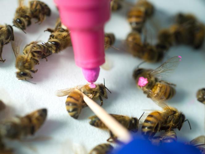 Selon l'étude, les abeilles exposées au glyphosate sont sujettes à plus d'infections qui augmentent leur mortalité.