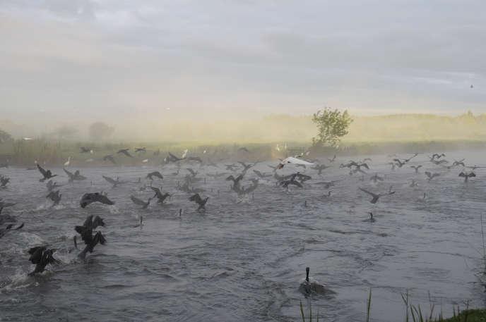 Vol de grands cormorans sur le marais du lac de Grand-Lieu (Loire-Atlantique).