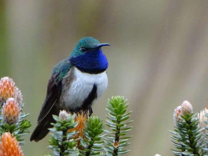 Le colibri découvert par les chercheurs en Equateur.