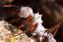 Une fourmi attine, couverte de bactéries symbiotiques afin de lutter contre les pathogènes qui attaquent ses champignonnières.