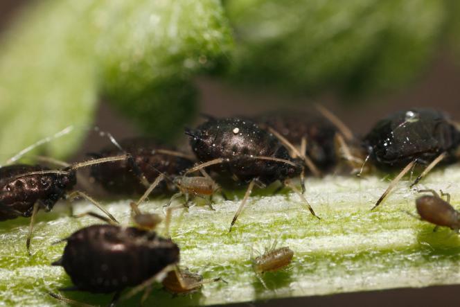 Pucerons, mouches blanches ou cicadelles seraient envoyés dans les champs pour disperser les virus. Ici des pucerons.