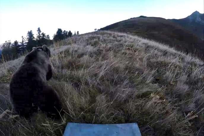 Capture d'écran de la vidéo de réintroduction d'une ourse slovène dans les Pyrénées, le 5 octobre. Photo diffusée par l'Office national de la chasse et de la faune sauvage (ONCFS).