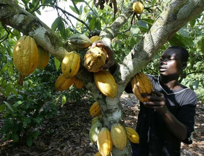 Récolte d'un cacaoyer, en novembre 2003, à Akati, au Ghana.