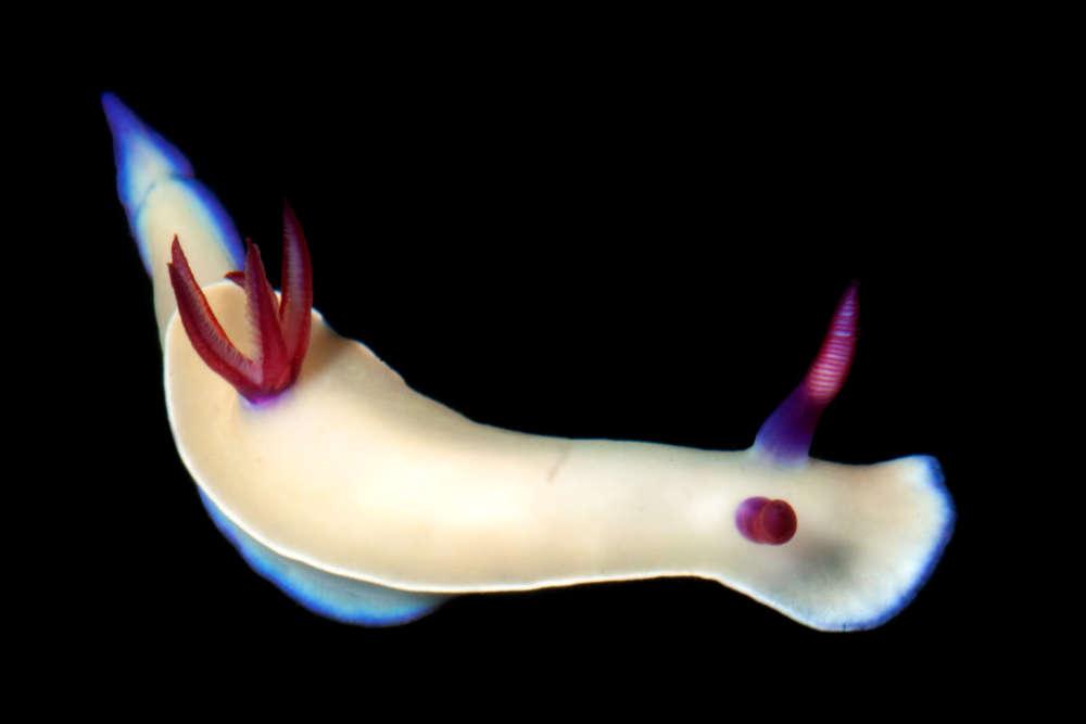 Ce spectaculaire nudibranche, nommé «Hypselodoris lacteola», serait endémique de Nouvelle-Calédonie, ne vivant nulle part ailleurs. Mais pour certains spécialistes, il pourrait s'agir d'une autre espèce plus largement répandue, présentant une simple variation de couleur. Des analyses génétiques apporteront bientôt la réponse.