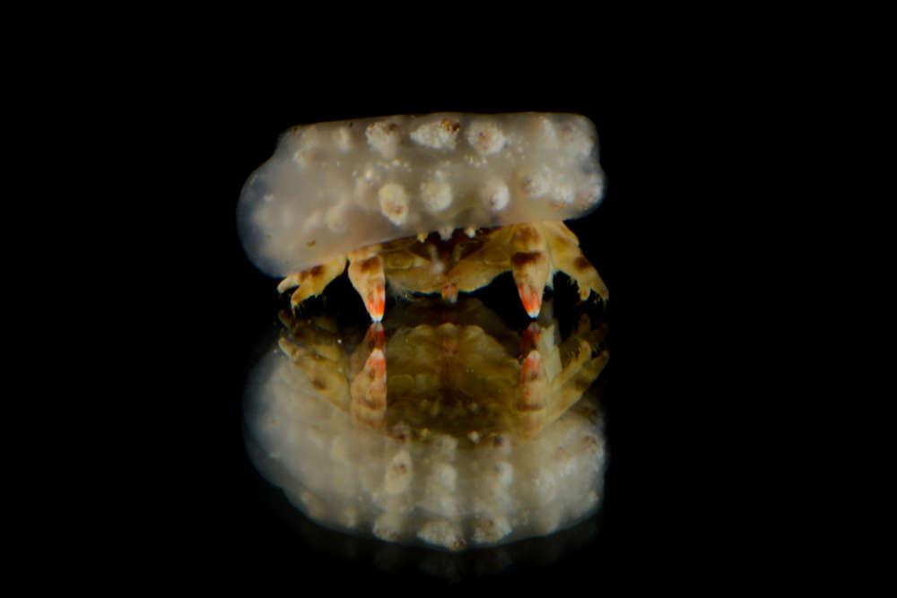 Les crabes de la famille des «Dromiidae» ont la curieuse habitude de découper puis de tailler un morceau d'éponge marine dans lequel ils se glissent pour se camoufler. Mais certains de ces crabes, comme celui-ci, changent parfois de garde-robe et se coiffent d'un morceau d'ascidie, un autre invertébré marin.