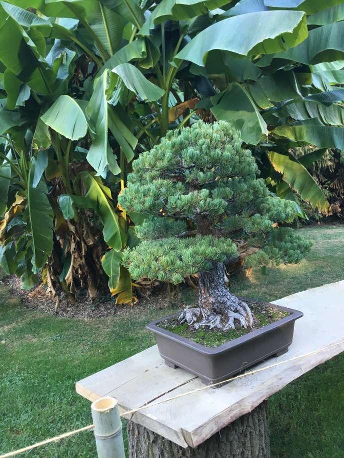 Un des bonsaïs exposés dans les allées du jardin zoologique et botanique.
