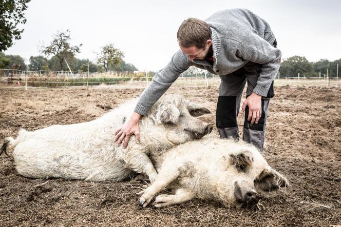 Pierre Gayet élève des cochons Mangalica, une race d'origine hongroise.
