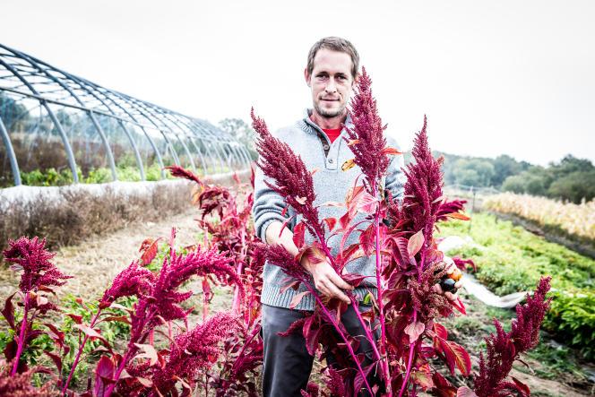 L'amarante de Pierre Gayet, cultivée en bio, à Dornes dans la Nièvre, peut être utilsée comme pop-corn.