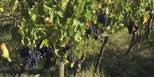 This Sept. 10, 2018 photo shows grape vines near the villa Il Barattino in Cortona, Italy. (Anne D'Innocenzio via AP)