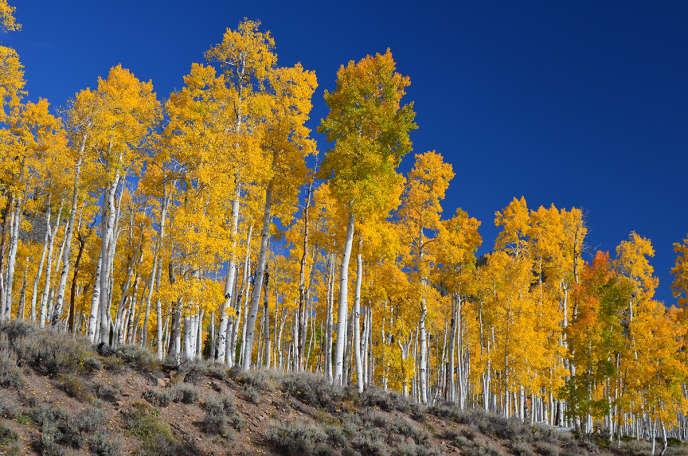 Une colonie de peupliers faux-trembles située dans l'Utah, aux Etats-Unis.