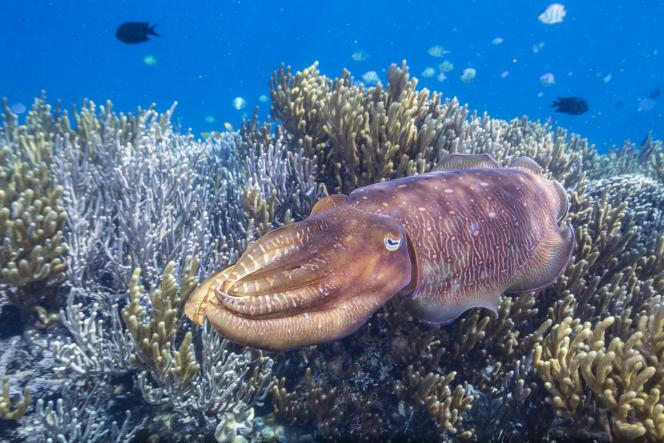Seiche adulte, sur le récif des îles Sebayur Island, en Indonésie.