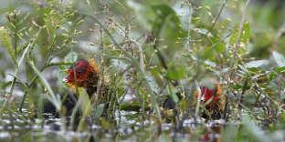 Deux jeunes foulques macroules, une espèce migratrice, en Indre-et-Loire.