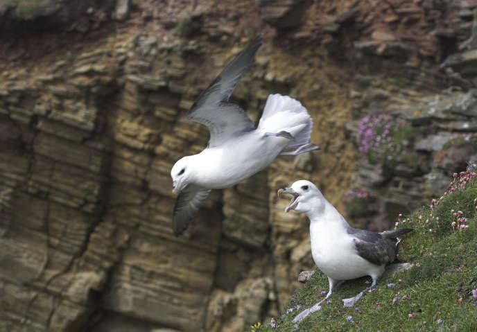 Des fulmars boréaux dans une falaise desShetland, en Ecosse. Selon une étude menée en mer du Nord, 20% de ces oiseauxauraient de la paraffine dans l'estomac.