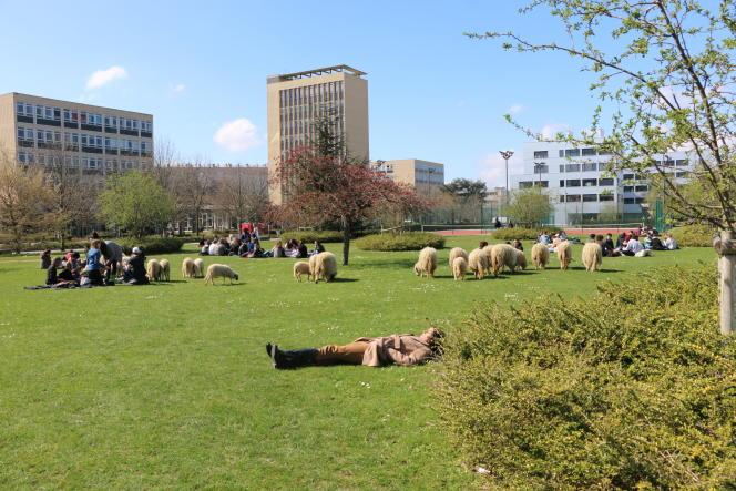 Des moutons pâturent dans les pelouses de l'université Paris-Nanterre, avril 2016.