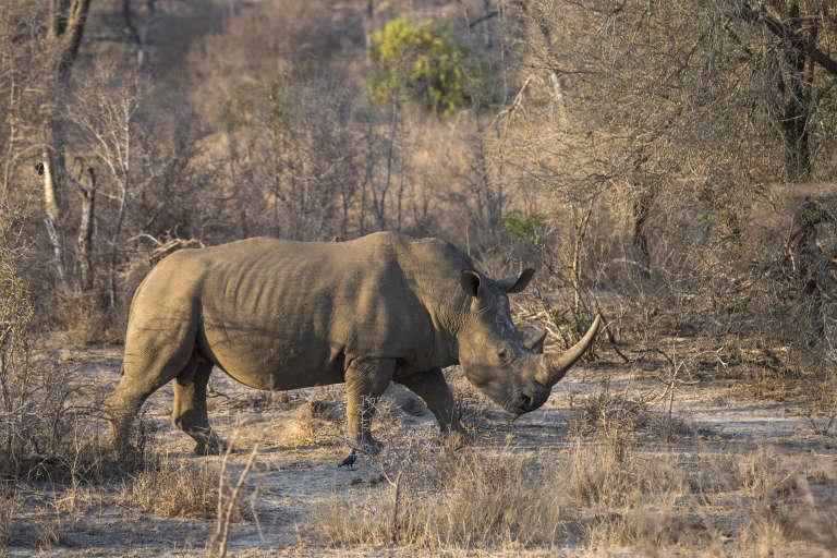 « Les rhinocéros auront sûrement disparu dans une vingtaine d'années »